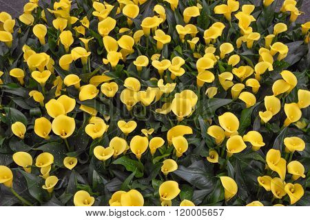 Flower bed of beautiful yellow calla lilies