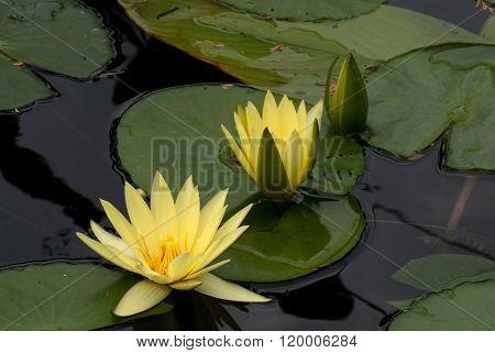 Flower Yellow Lotus