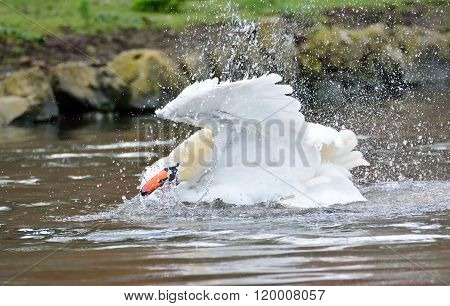 Swan Swimming In Lake While Flapping Wings