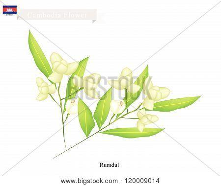 National Flower Of Cambodia, Rumdul Or Mitrella Mesnyi