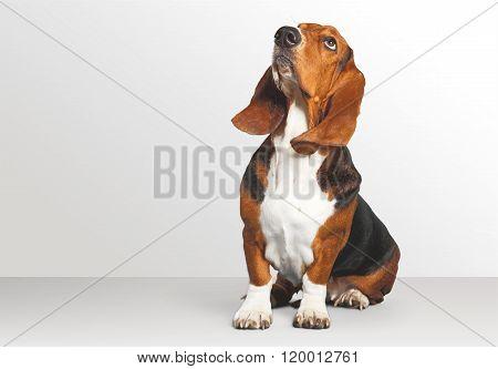 Basset Hound.