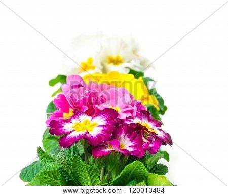 Colorful Primroses, Row