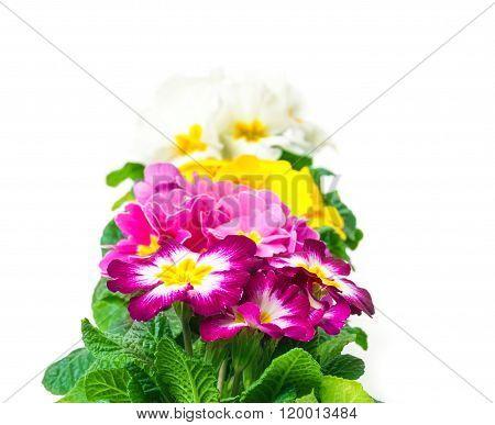 Colorful Primroses, Row