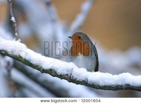 Robin (europäisch) - Erithacus rubecula