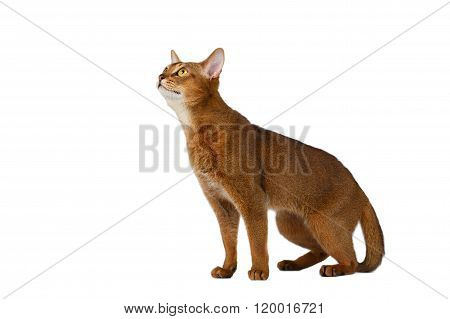 Funny Abyssinian Cat Sitting And Looking Up Isolated On White