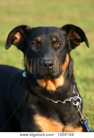 Attentive Beauceron