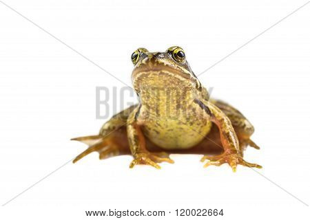 Common Brown Frog Frontal Look