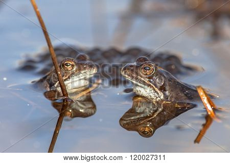 Two Male Common Frogs  With Spawn