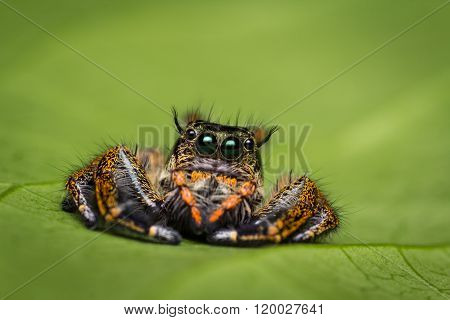 Macro Of Jumping Spider On Green Leaf.
