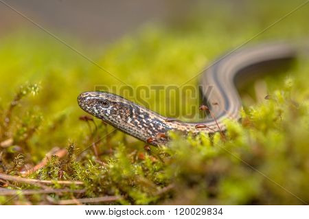 Slow Worm Creeping On Moss