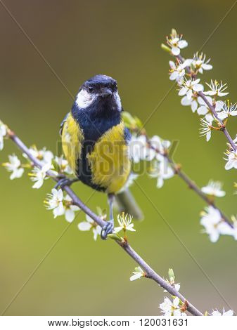 Great Tit Between Flowers