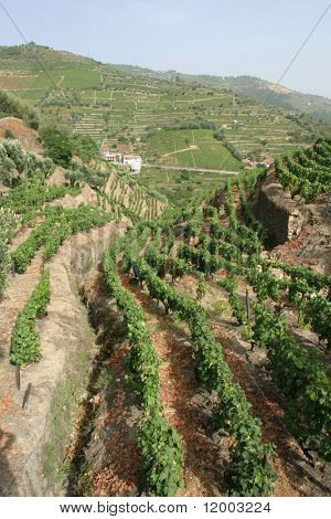 Portuguese port wine vines