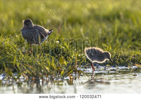 Mother And Chick Common Redshank