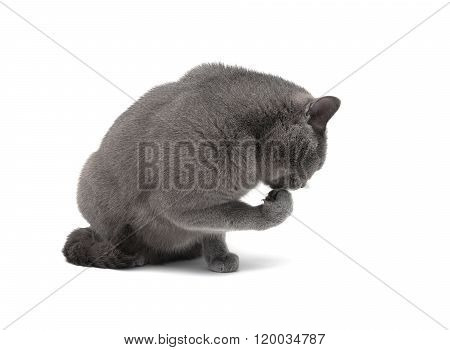Cat Licking Its Paw On A White Background Close-up.