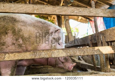 Feeds Of Pig In Traditional Farm