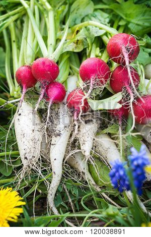 Radishes, Turnips, Harvest