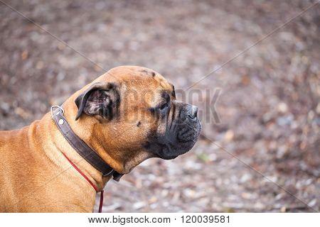 English Mastiff Dog