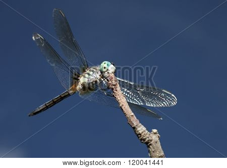 Light Green Bodied Dragonfly