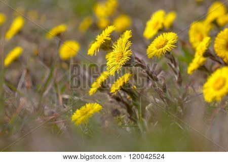 Spring Messenger Coltsfoot