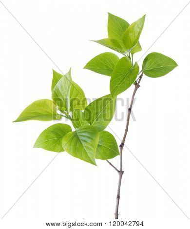 Young branch of lilac (Syringa vulgaris) isolated on white