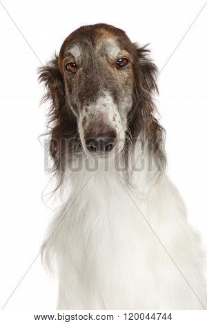 Russian Borzoi Dog Isolated On White
