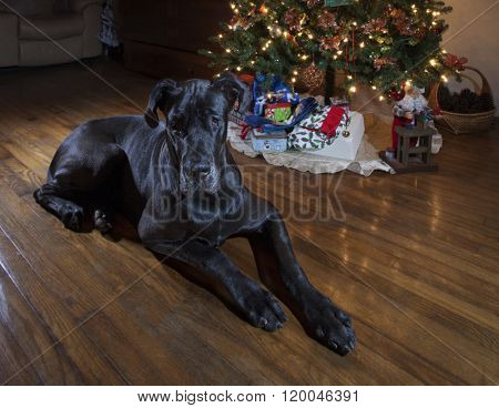 Great Dane Christmas