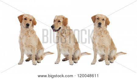 Three Golden Retriever dogs breed isolated on a white background