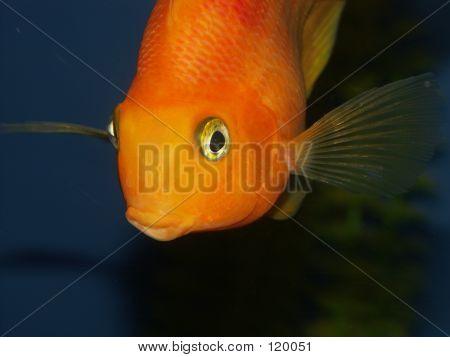 Big Golden Fish