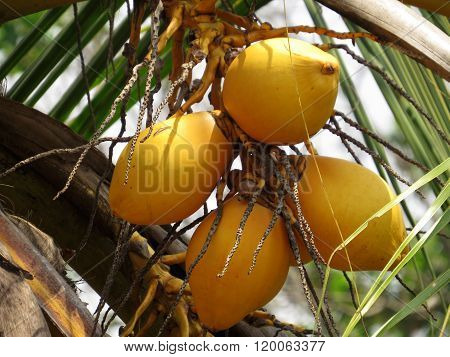 Calming look at a bunch of King Coconuts ** Note: Soft Focus at 100%, best at smaller sizes