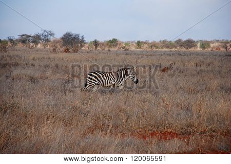 Zebra In The Grass / Kenia