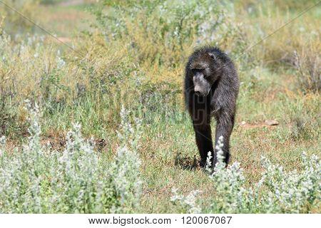 Baboon Monkey, Namibia