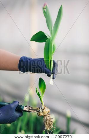 tulip bulb cut by pruner