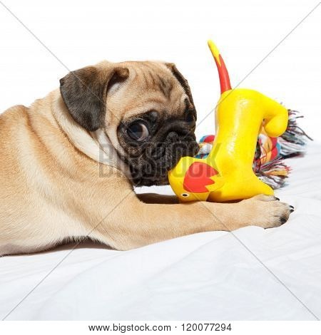 Pug playing with toy