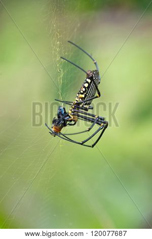 Tropical giant orb spider eating a bee