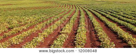 Peanut Harvest, Queensland, Australia