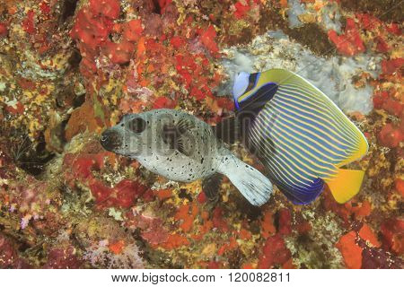 Seal Puffer fish and Emperor Angelfish