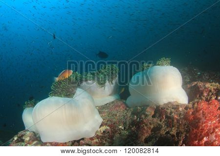 Sea Anemones, coral reef and fish in ocean
