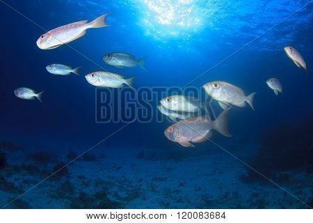School of Crescent-tailed Bigeye fish in ocean