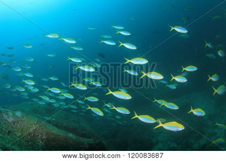School fusilier fish on reef