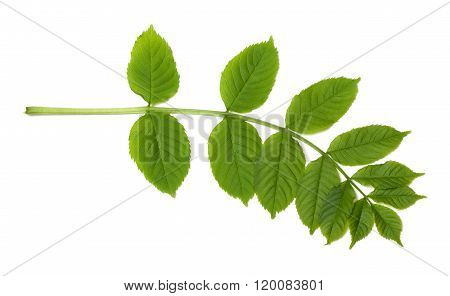 Green Sorbus Leaves