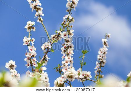 Bramches Of Almond Tree With White Flowers