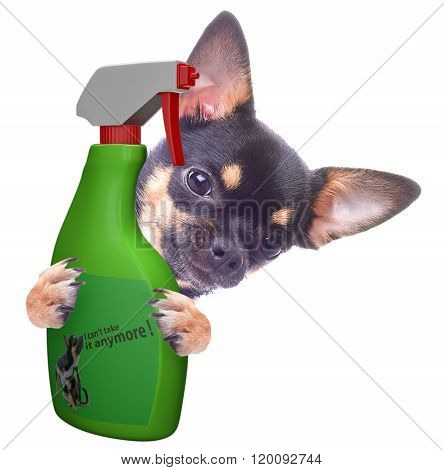 Cute Chihuahua Have Problem With Itch, Isolated White Background