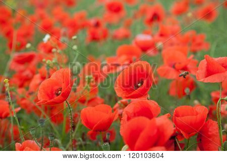 red poppy fields