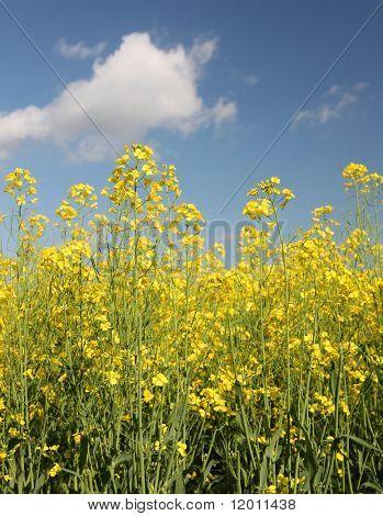 Raps Raps Pflanzen in voller Blüte