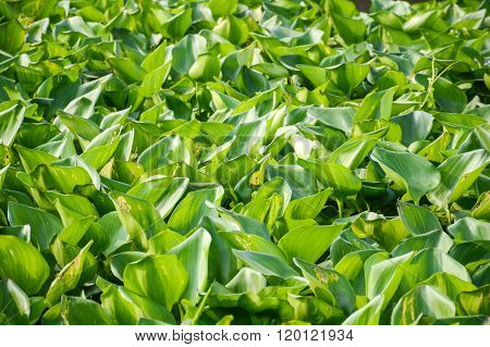Water Hyacinth tree in river