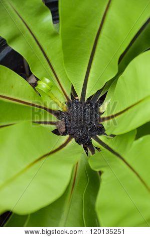 fresh asplenium nidus plants