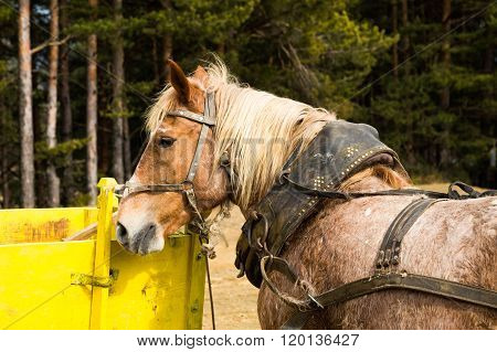 Harnessed Dray Or Draft Horse Waiting To A Cart