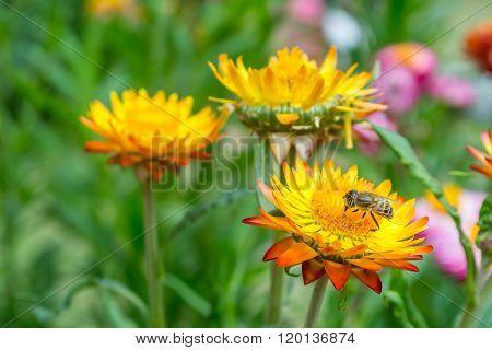 Yellow Straw Flower, Everlasting,flowers