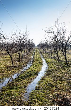 Plum Tree Orchard In Winter With Muddy Way Trough It