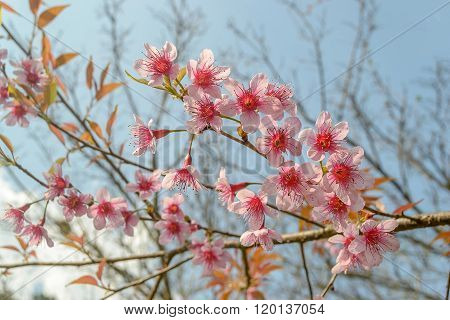Thai Sakura With Sky Background In Winter At Doi Ang Khang, Chaing Mai Province, Thailand.